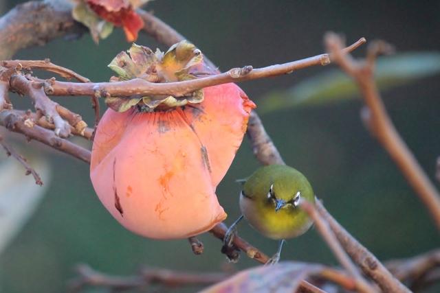 柿をついばむメジロ
